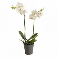 Orchidée Candide